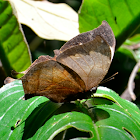Pearly leafwing