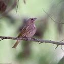 Saffron finch (female)