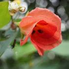 Sea hibiscus