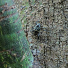 Rainforest weevil