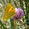 Mariposa Colias croceus