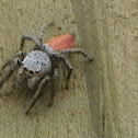Decorus jumping spider
