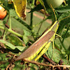 Spotted Bird Wing Grasshopper