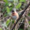 Subalpine Warbler; Curruca carrasqueña