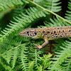 Lagarto verdinegro (Iberian emerald lizard)