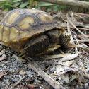 Gopher tortoise, juvenile