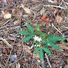 Bull Nettle/Florida Stinging Nettle