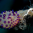Purple-tipped Janolus Nudibranch