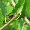 Mating Fireflies