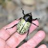 Hercules Beetle (male)