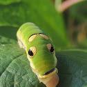 Spicebush swallowtail caterpillars (3rd instar)