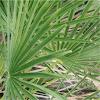 European Fan Palm (Chamaerops humilis)