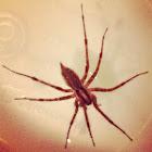 Grass spider (male)