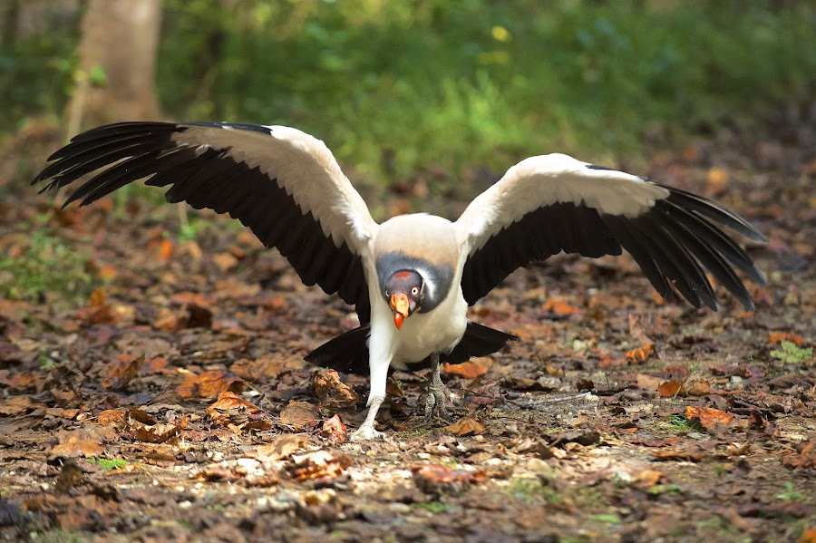King Vulture On The Move by Roy Walter - Animals Birds ( captivity, animals, wings, raptor, king vulture, birds )