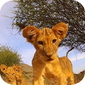 Kitten Lion cub Live Wallpaper