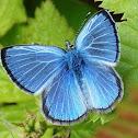 Silvery Blue Butterflies