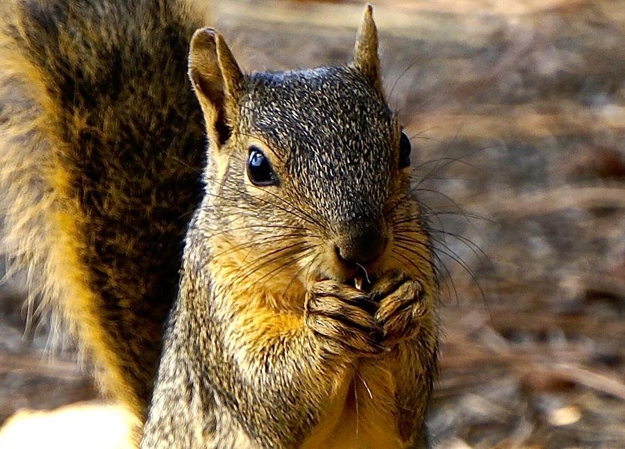 Squirrelly Squirrel by Barbara Brock - Animals Other ( squirrel; chipmunk; eating,  )