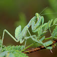 Indian Mantises