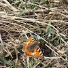 Small Tortoiseshell / Riđi leptir