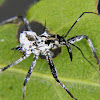 Assassin bug nymph exuvia
