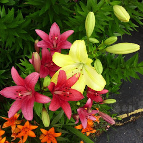 Lilies! by Bette Lewis - Flowers Flower Gardens
