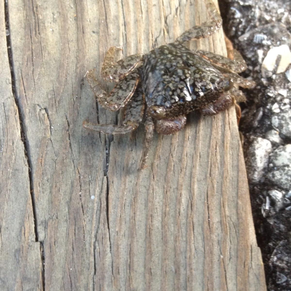 Mangrove tree crab