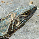 Black spiny-tailed iguana or black Ctenosaur