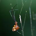 Dewdrop spider