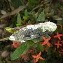 Carpenter Moth