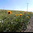 Wild Annual Sunflower