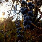 California Wild Grape