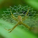 paired-legs orb web spider