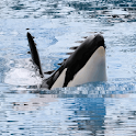 Killer Whale Live Wallpaper logo