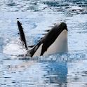 Killer Whale Live Wallpaper logo