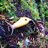 Pacific Banana Slug