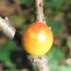 Round Bullet Gall Wasp