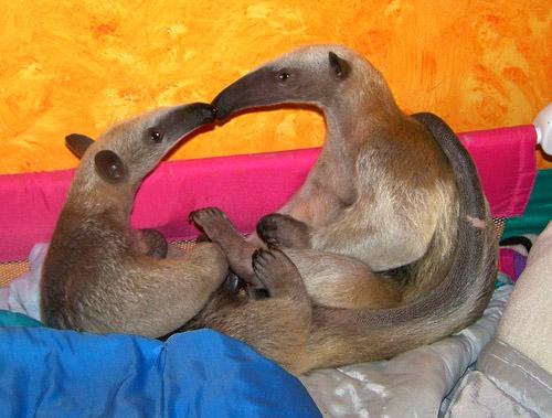 Dark Roasted Blend Anteater Coolness