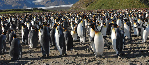 Silversea-Silver-Discoverer-king-penguins - Sail to southern New Zealand with Silver Discoverer and meet friendly king penguins, cousin to emperor penguins.