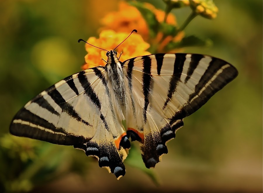 GREEK BUTTERFLY by Chris Bradley - Animals Insects & Spiders ( butterfy, animal )