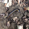 Yellow-Spotted Millipede/ Cyanide Millipede