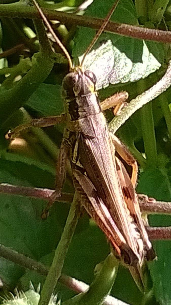 Juniper Grasshopper