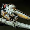 Robber- Fly & Leaf-Hopper Prey