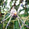 Nephila Spider