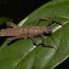 Spiny Stick Insect, Phasmid - Female