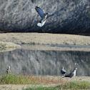 Dove: Eurasian Collared Dove