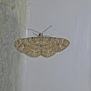 Geometride Moth