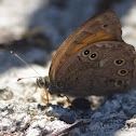 Lattice Brown