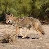 Western Coyote