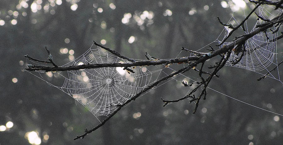 early mornin walk by Phil Alderton - Nature Up Close Natural Waterdrops ( water, dew, drops, web, spider,  )