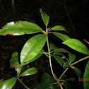 Rhododendron species